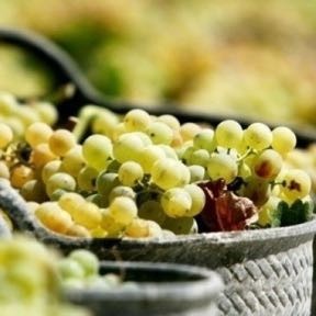 Grapes from harvesting private wine day tour to loire valley