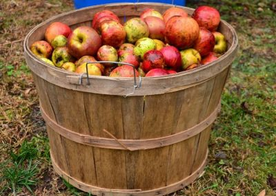 Visit harvest from apple field for cider, calvados and pommeau in Normandy