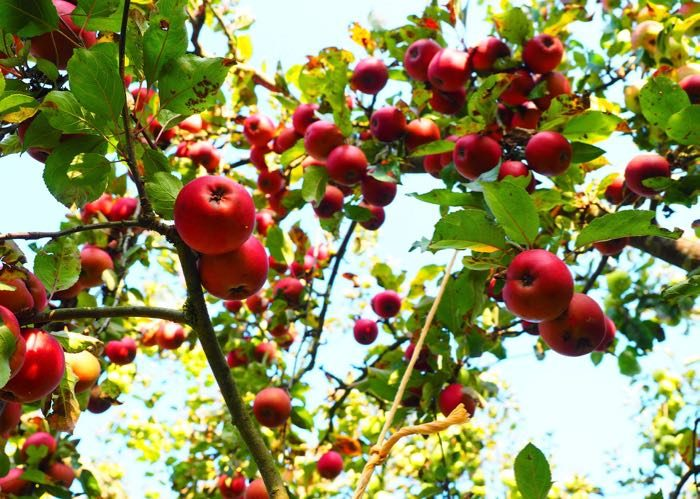 Visit apple field for cider, calvados and pommeau in Normandy