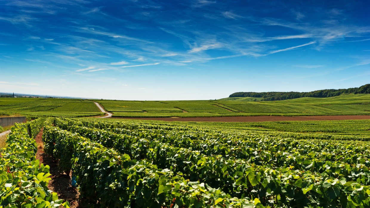 Visit of Champagne vineyards in Cramant