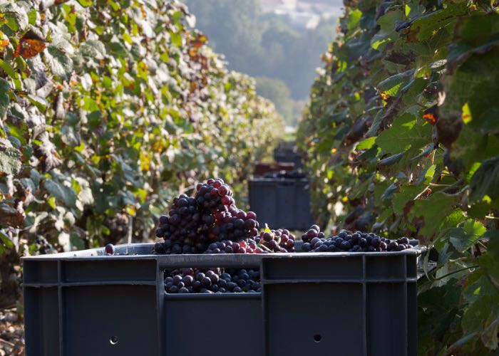 Grape harvesting of luxury champagne