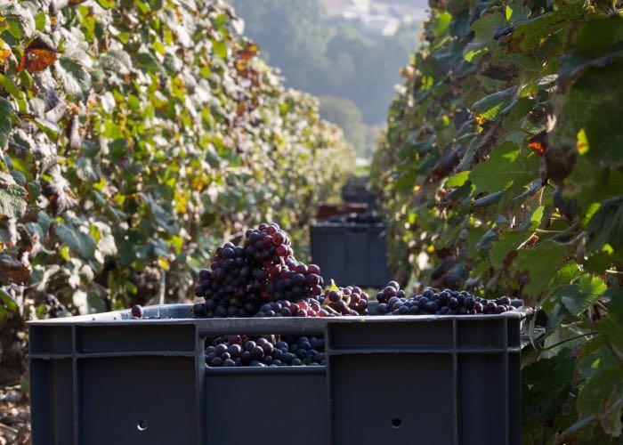 Grape harvesting of luxury champagne