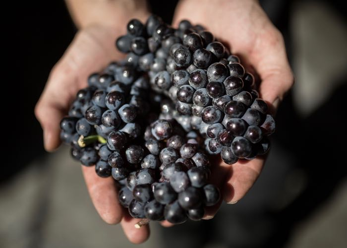 Red grape in the hands of a wine-maker