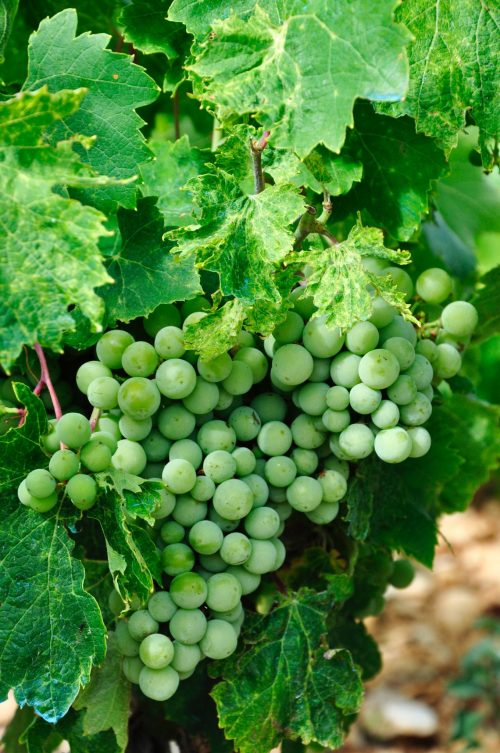 grape of chardonnay in champagne, The greatest players of Champagne's history