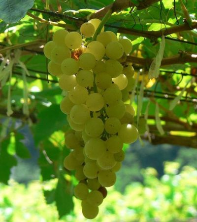 grape of chenin blanc, Wines and Castles: must-know about the Loire valley