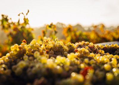 grapevine life cycle wine harvest winepassport
