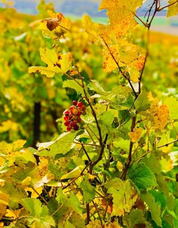 grapes fals vines champagne france