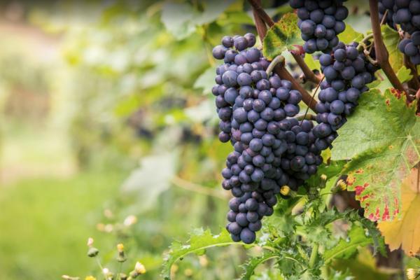 red-grape-varieties